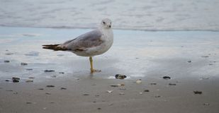 Birds from Myrtle beach royalty free stock photo
