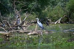 Birds in Nature Reserve,Greece. Herons and cormorants perched on dead trees in Nature Reserve Kerkini lake,Greece Stock Photos