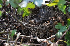 Birds in a nest. Chicks in a nest hidden in a hedge Royalty Free Stock Photo