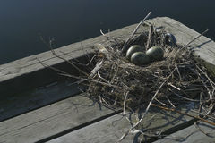 Birds nest. Seagull nest on the end of a jetty Royalty Free Stock Images