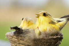 Birds in nest Stock Photo
