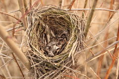 Birds nest. Abandoned bird's nest located in the bush royalty free stock photography