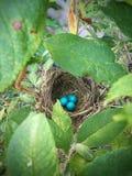 Birds Nest. Baby blue bird eggs sitting in nest in tree Royalty Free Stock Photo