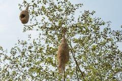 Birds nest of baya weaver on a tree Stock Photos