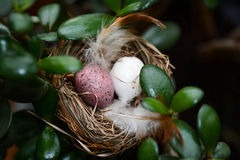 Birds nest Royalty Free Stock Photo