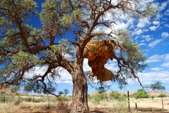 Birds nest on a camel thorn tree. Sesriem gate, Na Stock Photos