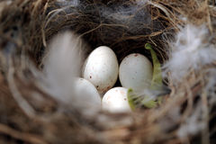 Birds nest. A close up photo of a bird's nest with eggs royalty free stock photography