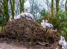 Birds nest of a dalmatian pelican family, portrait of big group of birds in their nest, near threatened animals from Europe. A birds nest of a dalmatian pelican stock images
