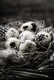 Birds nest with eggs Stock Photography
