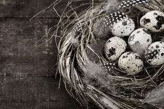 Birds nest with eggs Stock Image