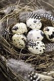 Birds nest with eggs Royalty Free Stock Photography