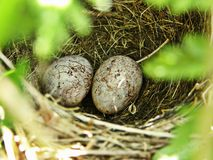 Birds nest with eggs Stock Images