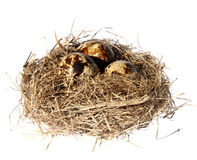 Birds nest with eggs Stock Photo