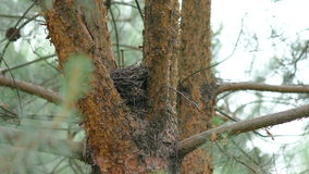 Birds nest on the evergreen coniferous tree stock video footage