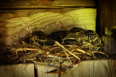 Birds in the nest. Birds family in the nest Royalty Free Stock Image
