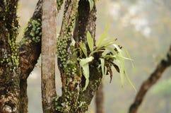 Birds nest Fern (Asplenium nidus) Stock Images