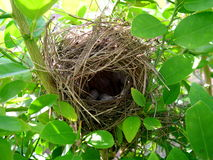 Birds nest in lime tree. With couple of eggs inside stock images