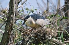 Birds in the nest Stock Photo