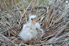 Birds in the nest Stock Photos