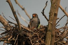 Birds in the nest Royalty Free Stock Image