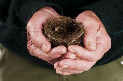 Birds nest in old mans hands Stock Image