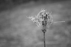 Birds Nest Perennial Springtime Black And White. Birds nest also known as wild carrot. This wild plant is biennial, perennial and annual. Seeds spread branching Stock Images
