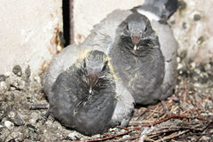 Birds in the nest. Pigeon pair Stock Photography