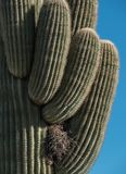 Saguaro Cactus with birds nest. Birds nest in a Saguaru Cactus with multiple arms royalty free stock images