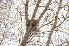 A birds nest sitting between the slim brown branches of a tree. A vast white sky can be seen through the leafless branches of the tree stock photos