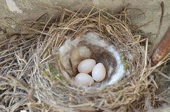Birds nest with three eggs Stock Image