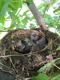 Birds nest with two chicks Royalty Free Stock Images
