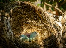 Birds nest. A birds nest with two eggs and a hatched chick royalty free stock image