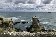 Birds nesting and flying at Muriwai Beach, New Zealand. Birds nesting and flying at Muriwai Beach, North Island, New Zealand stock images