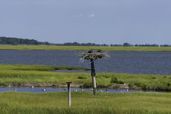 Birds Nesting in the Salt Marshes. Birds sitting in their nest in the NJ Salt Marshes Royalty Free Stock Image