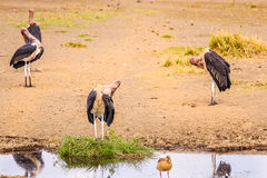 Birds in Ngorongoro crater in Tanzania Stock Images