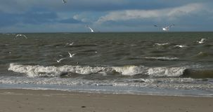 Birds on North Frisian Island Beach of Amrum stock footage