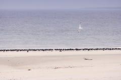 Birds on North Frisian island beach of Amrum Royalty Free Stock Photography