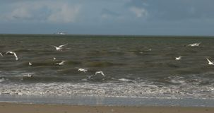 Birds on North Frisian Island Beach of Amrum stock video