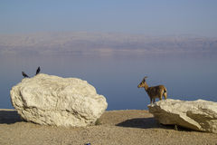 Birds and Nubian Ibex living together,Birds eating parasites fro. M mammals. Ein Gedi, Dead Sea, Israel Royalty Free Stock Image