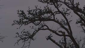 Birds on oak tree branches, winter cloudy sky, tripod fixed camera close up. Birds on oak tree branches, cloudy sky, tripod fixed camera close up stock video footage