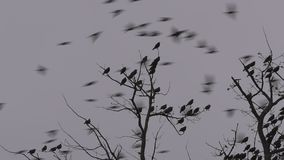 Birds on oak tree branches, winter cloudy sky, tripod fixed camera close up. Birds on oak tree branches, cloudy sky, tripod fixed camera close up