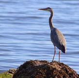 Birds ocean wildlife water blue nature amature. A lone crane taking in the peaceful day Stock Photos