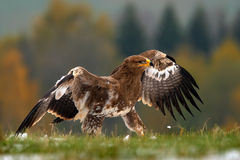Free Birds Of Prey On The Meadow With Autumn Forest In The Background. Steppe Eagle, Aquila Nipalensis, Sitting In The Grass On Meadow, Stock Image - 75950731