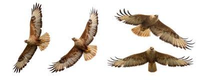 Birds Of Prey - Set Of Long Legged Buzzard, Buteo Rufinus, In Flight. Isolated On White Stock Image