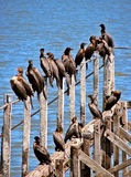 Birds in a old dock. A lot of birds resting in old wood dock Royalty Free Stock Image