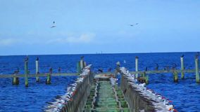 Birds on an Old Pier stock video