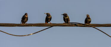 Free Birds On Wire Starling Sunlight Abstract Colors Royalty Free Stock Photo - 170135715