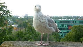Bird city animal nature. Birds onto city to pick up leftovers at outdoor stock video footage