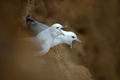 Birds with open bill. Pair of bird in the nest. Northern Fulmar, Fulmarus glacialis, nesting on the dark cliff. Two white sea bird Royalty Free Stock Photography