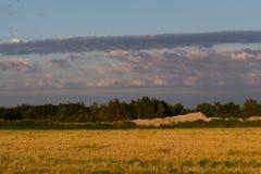 Birds over corn field Stock Images